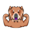 chow chow dog with muscules portrait of dog vector image