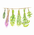 herbs are dried on a string watercolor summer vector image vector image