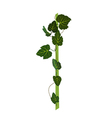 Branch with green leaves Grapevine Isolated vector image vector image