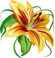 beautiful lily vector image