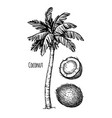 coconut and palm tree vector image vector image