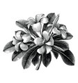 frangipani flowers hand draw vintage engraving vector image vector image