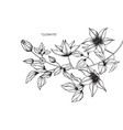 clematis flower drawing vector image vector image