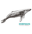 hand drawn humpback whale vector image vector image