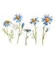 blue chamomile daisy flower vector image