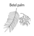 betel palm areca catechu or indian nut vector image vector image