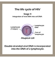 The life cycle of HIV Stage 4 - The double