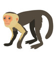 capuchin icon cartoon style vector image vector image