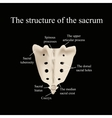 The structure of the aitch bone vector image vector image