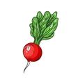 radish on white background vector image