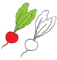 radish in color and without color in contour vector image vector image