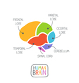 Human Brain Section vector image
