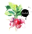 Radish with leaf Hand drawn watercolor painting vector image vector image