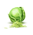 realistic cabbage vegetable vector image