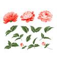 set peony flowers elements vector image vector image