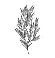 tarragon herb sketch engraving vector image