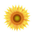 sunflower flowers isolated white background vector image vector image