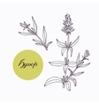 Hand drawn hyssop branch with leaves isolated on vector image