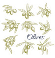 sketch icons of fresh green olives branches vector image vector image