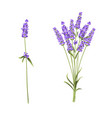 lavender flowers in closeup vector image vector image
