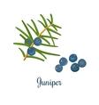 Branch of Juniper with berries vector image vector image