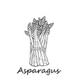 asparagus on a white background vector image vector image