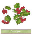 colored crataegus branch in hand drawn style vector image vector image
