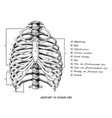 anatomy of human ribs hand draw vintage clip art vector image vector image