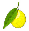 lemon hand drawn colored sketch vector image