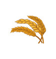 bunch of dry wheat ears cereal plant healthy and vector image