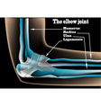 The elbow joint vector image vector image