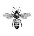 bee hand drawing vintage engraving isolate on vector image vector image
