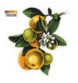 hand drawn mandarin branch vector image vector image