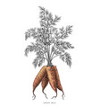 carrots hand drawing engraving isolated on white vector image