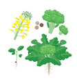 broccoli plant life cycle growing stages set of vector image vector image