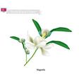 Siebolds Magnolia vector image vector image