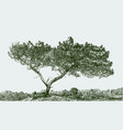a silhouette of a pine tree vector image vector image