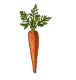 carrot hand drawn isolated vector image vector image