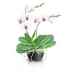 white phalaenopsis orchid in ceramic vase vector image