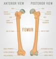 human femur bones vector image