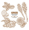 ginger plant set hand drawn ginger root flowers vector image