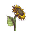 sunflowers hand drawn wildflower sun shaped side vector image vector image
