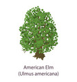 american elm icon flat style vector image