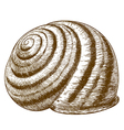 engraving striped snail shell vector image vector image