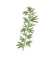 marijuana plant with leaf realistic hemp or vector image