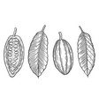 set cocoa beans vector image