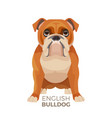 british bulldog medium-sized breed english vector image vector image