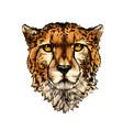 cheetah head portrait from a splash watercolor vector image vector image