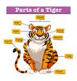 Diagram showing parts of tiger vector image vector image