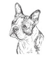 boston terrier hand drawing portrait vector image vector image